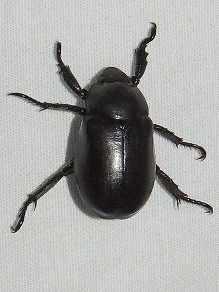 Pelidnota lugubris, Scarabaeidae, photo © by Mike Plagens