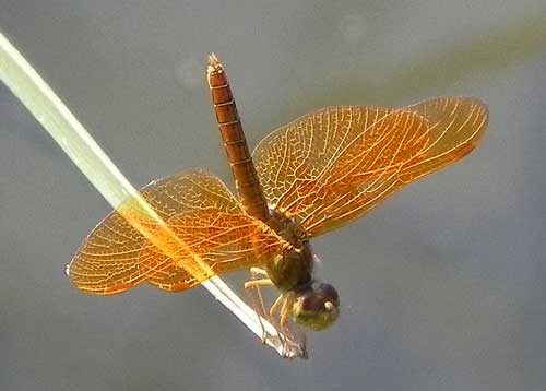 Mexican Amberwing, Perithemis intensa, photo © by Robert Witzeman