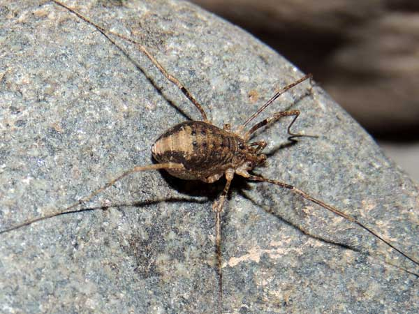 Opiliones harvestman from Arizona photo © by Mike Plagens