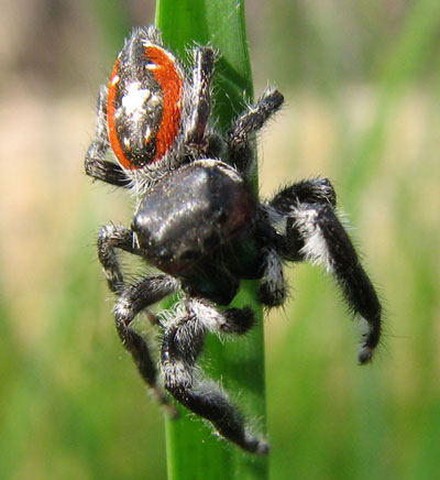 Phidippus californicus photo © by Laurie Nessel