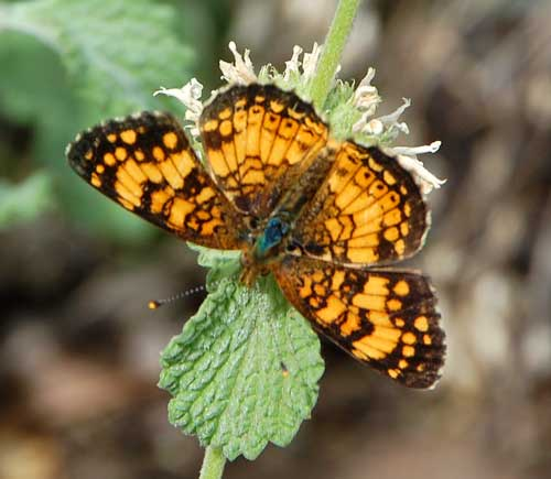 Phyciodes mylitta photo © by Mike Plagens