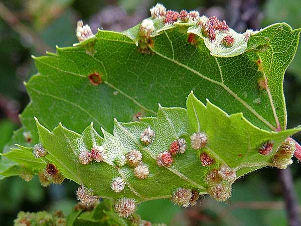 grape leaf with deforming galls of Phylloxera photo © by Michael Plagens