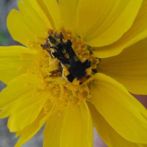 Ambush Bug, Phymata americana, photo © by Mike Plagens