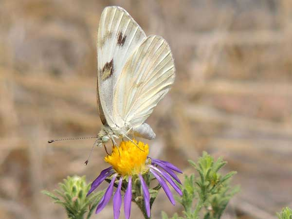 Checkered White, Pontia/Pieris protodice, photo © by Mike Plagens