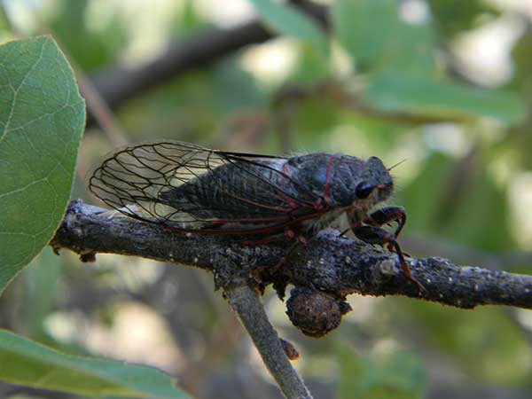 Platypedia cicada photo © by Mike Plagens
