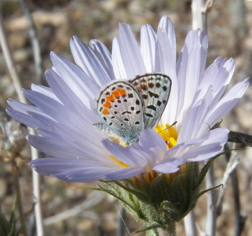 Plebejus acmon on Xylorhiza flower, Acmon Blue, photo © by Mike Plagens
