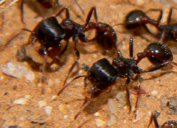 Pogonomyrmex rugosus photo © by Michael Plagens
