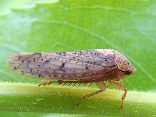 a leafhopper, Ponana punctipennis, photo © by Michael Plagens
