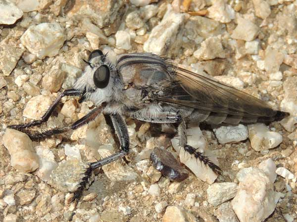 a robber fly, Promachus,  photo © by Mike Plagens