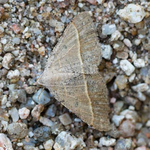 Ptichodis ovalis moth in Sonoran Desert photo © by Allan Ostling