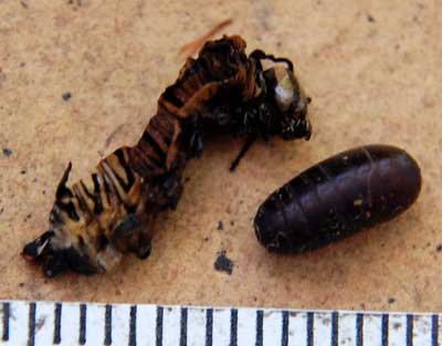 larva of Danaus gilipus and tachinid puparium. Photo © Michael Plagens