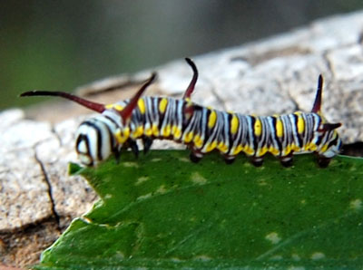 larva of Danaus gilipus feeding on milkweed vine. Photo © Michael Plagens