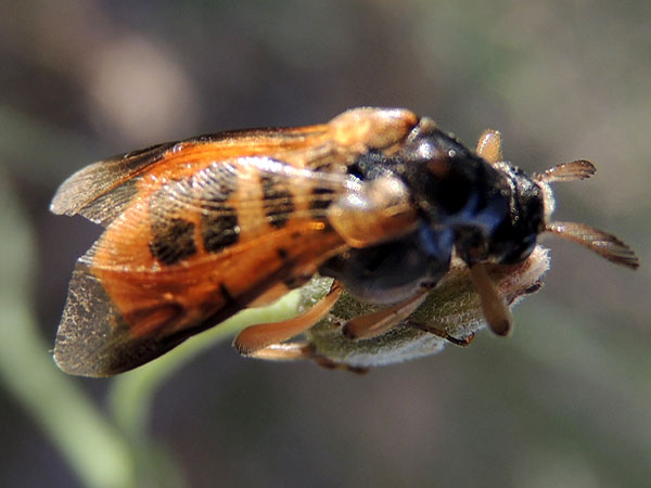 Wedge-shaped Beetle, Ripiphorus vierecki, photo © by Michael Plagens
