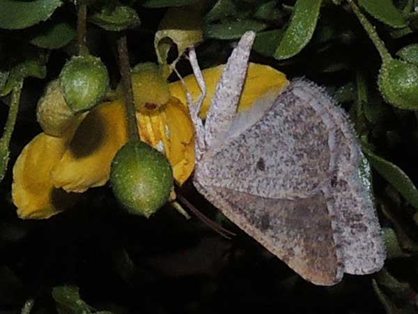 Creosote Bush Geometridae, Semiothisa, Digrammia  in Sonoran Desert photo © by Mike Plagens
