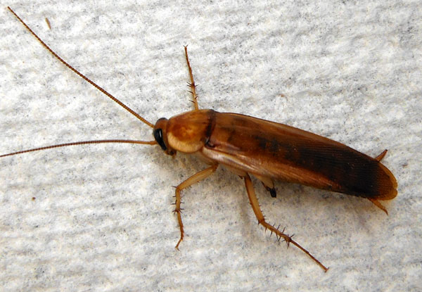 Turkestan Cockroach, Shelfordella lateralis, photo © by Mike Plagens