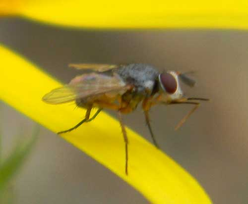 a small tachinid fly, photo © by Mike Plagens