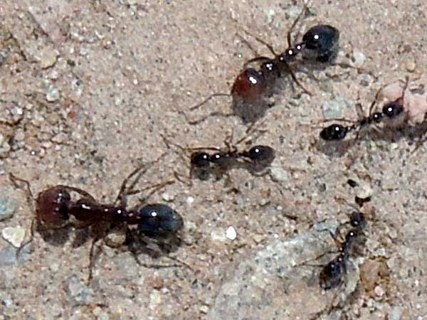 Solenopsis xyloni major and minor workers © Michael Plagens