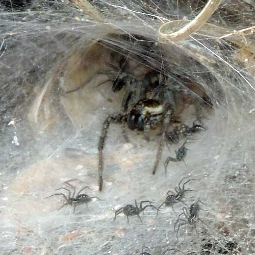 a Funnel Web Wolf Spider, Sosippus californicus, © by Mike Plagens
