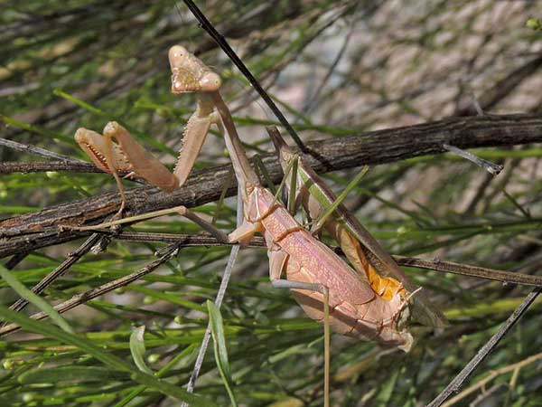 Mating pair of Praying Mantis, Stagmomantis limbata, photo © by Mike Plagens