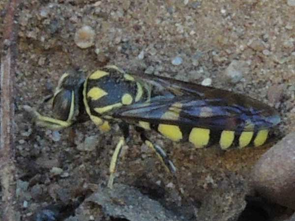 a sand wasp, steniolia, photo © by Michael Plagens