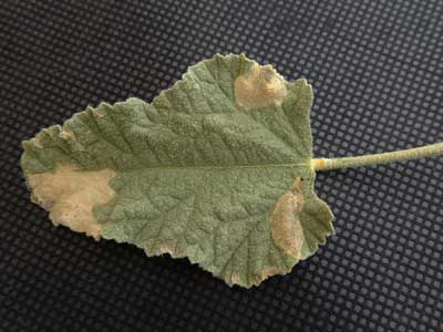 leaf mines made Chrysomelidae larvae, Stenopodius, photo © by Michael Plagens
