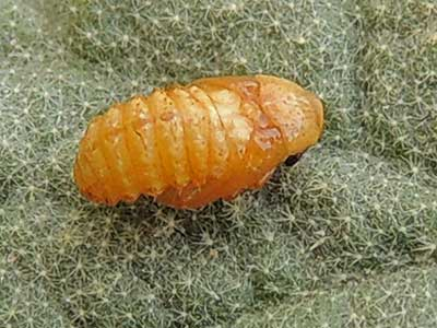 pupa stage of leaf mining Chrysomelidae, Stenopodius, photo © by Michael Plagens