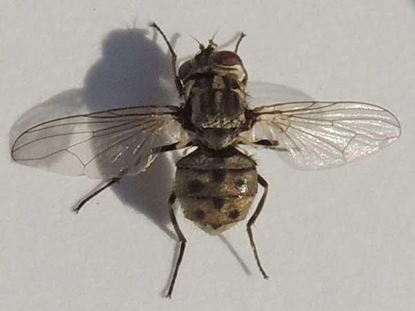 Stable Fly, Stomoxys calcitrans,  photo © by Mike Plagens