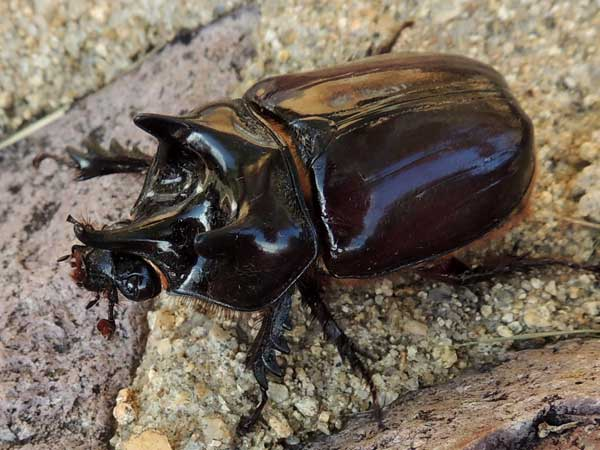 a rhinoceros beetle, Strategus aloeus, photo © by Mike Plagens