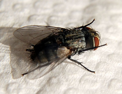 tachind fly emerged from larva of Danaus gilipus. Photo © Michael Plagens