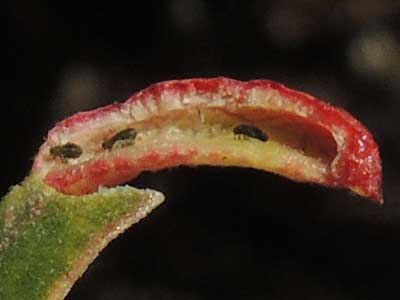 an aphid gall by Tamalia on Arctostaphylos photo © by Michael Plagens