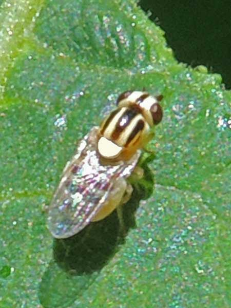 a small, brightly marked fly, Thaumatomyia sp.,  photo © by Mike Plagens