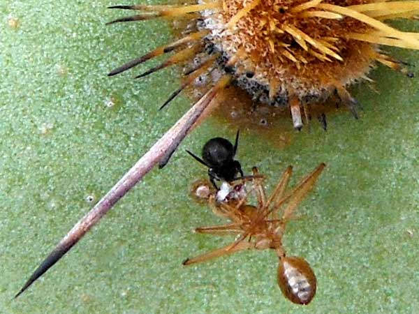 a formicine ant taken as prey by a small theridiidae spider photo © by Mike Plagens