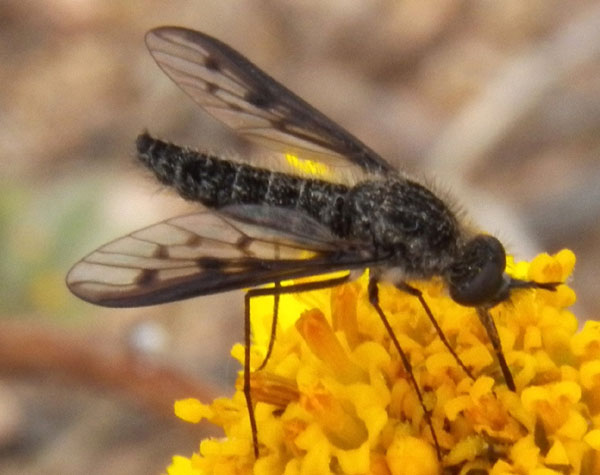 Thevenetimyia bee fly photo © by Mike Plagens