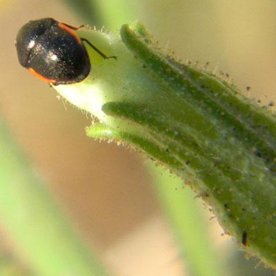 Probably <i>Corimelaena</i>, Thyreocoridae, bug on Nicotiana obtusifolia photo &copy; by Mike Plagens