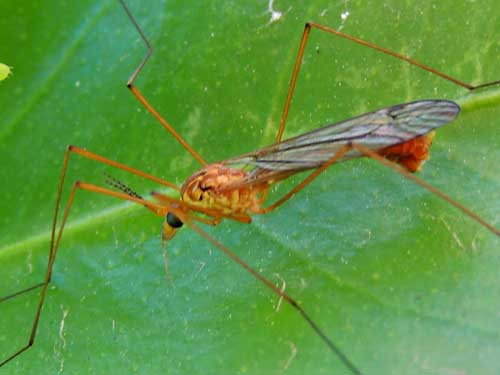 Crane fly, Tipula sp.,  photo © by Mike Plagens