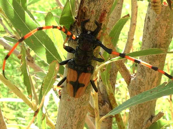 Trachyderes mandibularis photo © by Mike Plagens