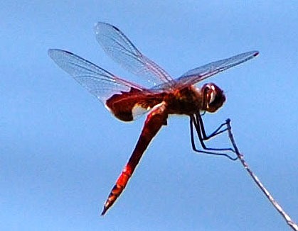 Red Saddlebags, Tramea onusta, photo © by Michael Plagens