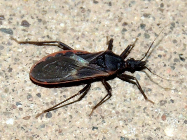 a kissing bug, Triatoma rubida, photo © by Mike Plagens