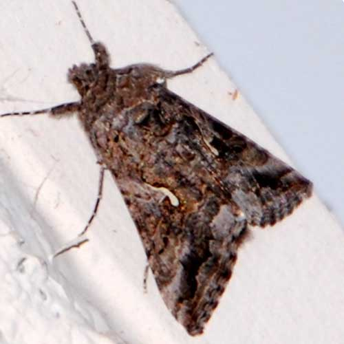 an adult cabbage looper moth, Trichoplusia ni, photo © by Mike Plagens