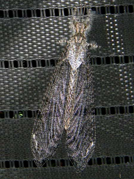 a giant antlion adult at electric light, Vella fallax, photo © by Mike Plagens
