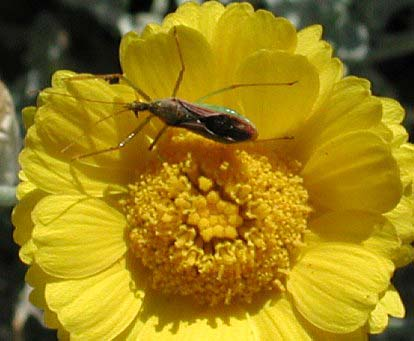 Zelus assassin bug photo © by Mike Plagens