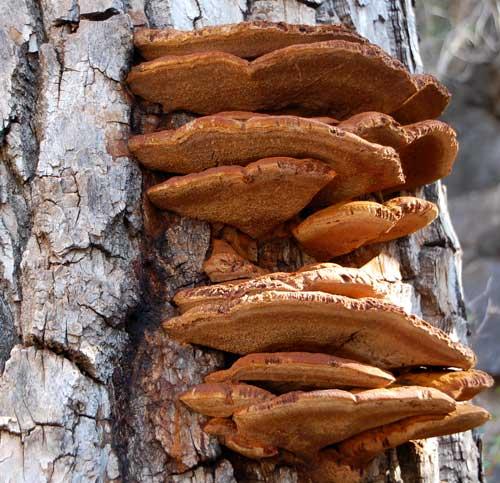 a bracket fungus, Ganoderma, on dead cottonwood, photo © by Michael Plagens