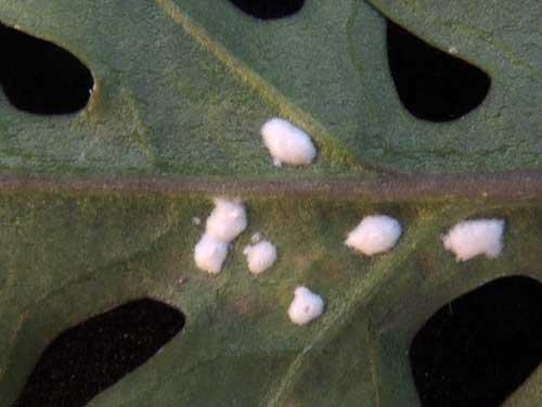 Plant pathogen of London Rocket, Sisymbrium