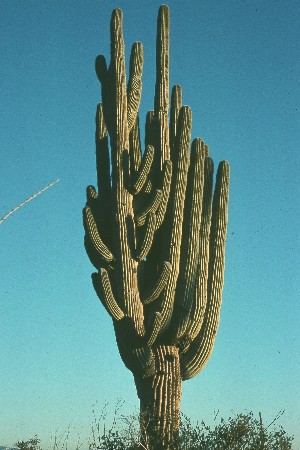 Huge Saguaro was growing north of Tucson, AZ in 1978 but later succummed to the stresses of urban sprawl.  Photo by Mike Plagens