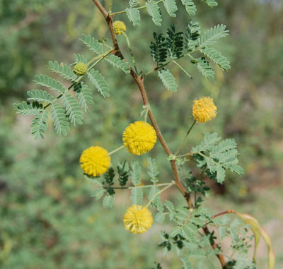 inflorescence of Acacia constricta photo © by Michael Plagens