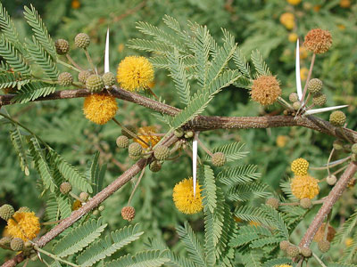 Acacia farnesiana photo by Michael Plagens