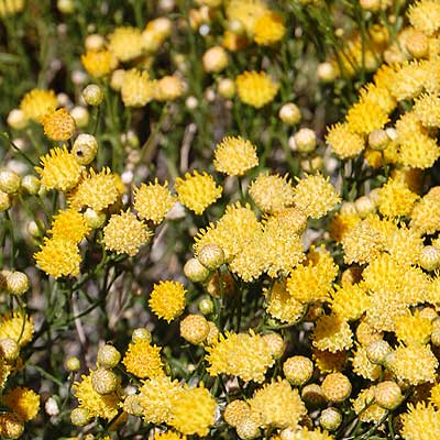 Flowering shrub, rayless goldenhead, Acamptopappus sphaerocephlus, photo © by Michael Plagens