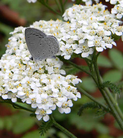 Common Yarrow, Achillea millefolium, photo © by Mike Plagens