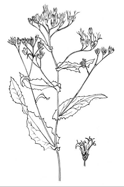 Pen & Ink Illustration of Acourtia wrightii © by Michael J. Plagens