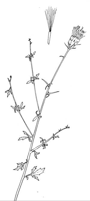 Pen & Ink Illustration of Adenophyllum porophylloides © by Michael J. Plagens